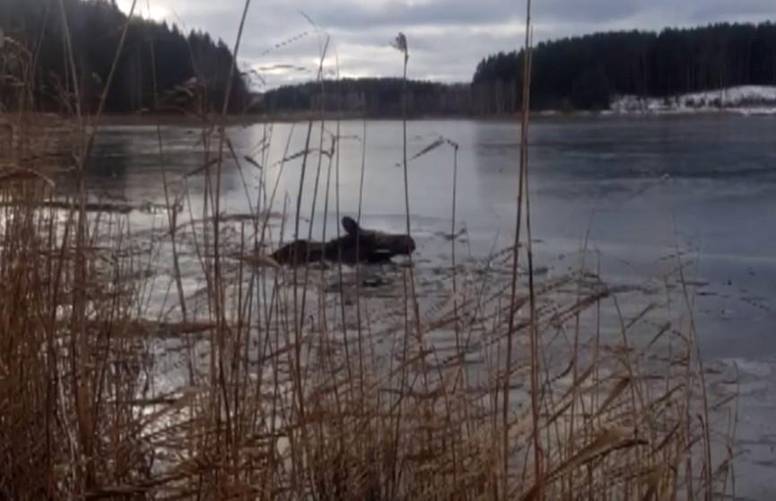 Лось решил, что он лосось: в Смолевичском районе спасателей вызвали на озеро