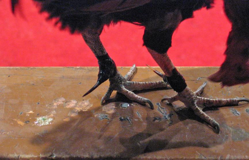 Петух нечаянно убил мужчину во время петушиных боев