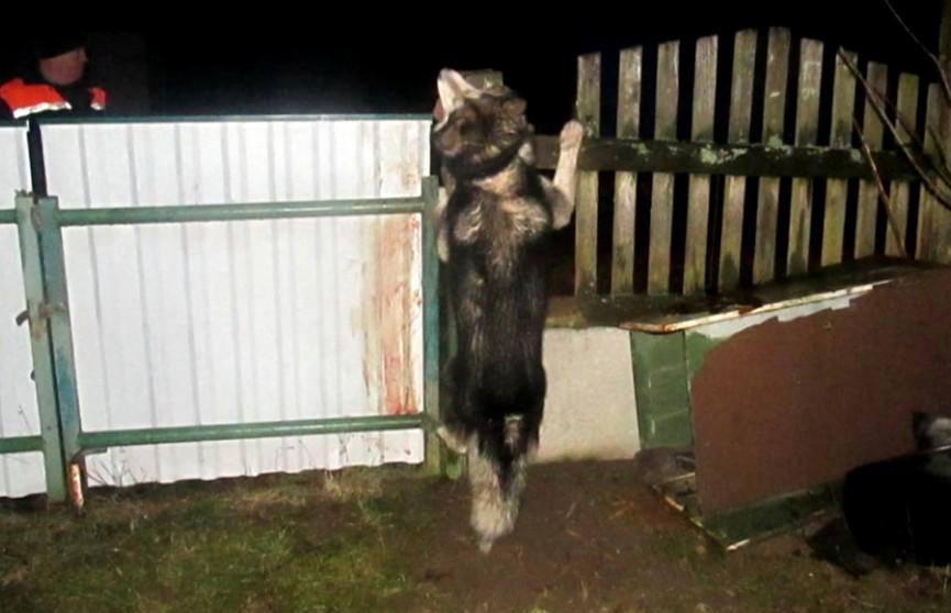 Озверевшая собака набросилась на жителя Копыльского района