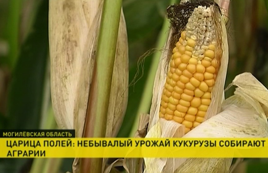 Небывалый урожай кукурузы собирают аграрии в Могилёвской области