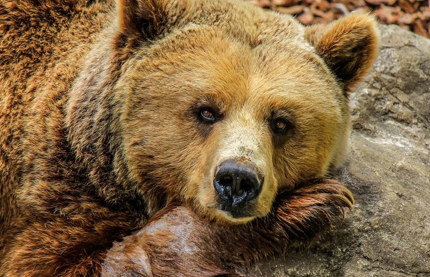 В Калифорнии медведь залез в мусорный контейнер, чтобы подъесть, и застрял (ВИДЕО)