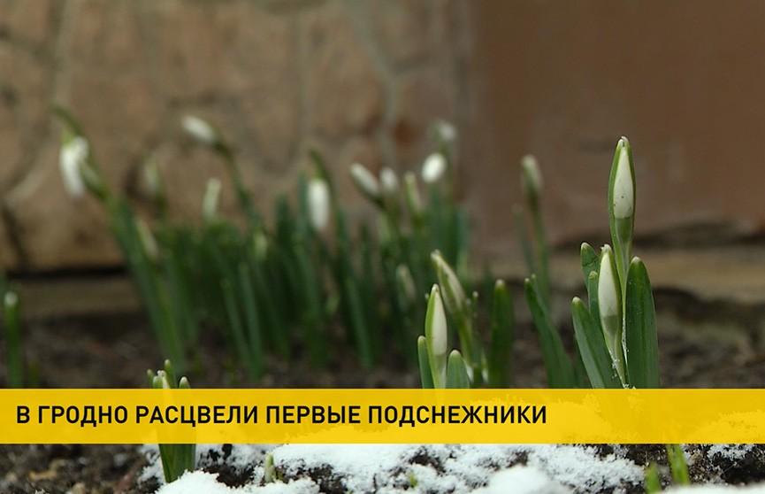 В Гродно пришла весна: первые символы – уже во дворах