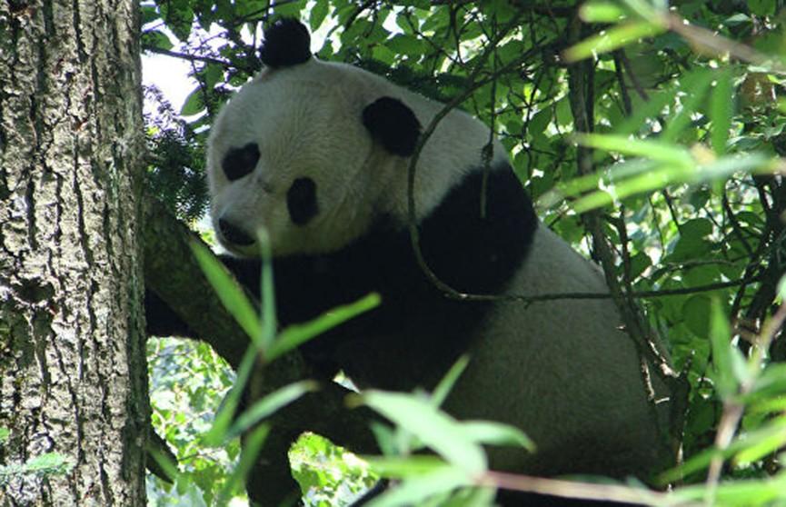 Панды не поделили дерево и устроили драку (Видео)