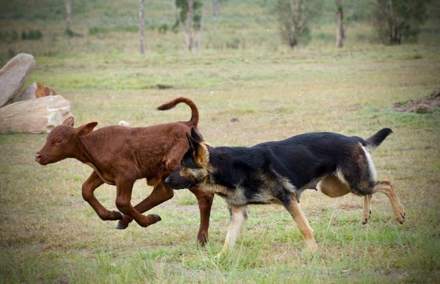 Дружба собаки и теленка умилила Сеть (ВИДЕО)
