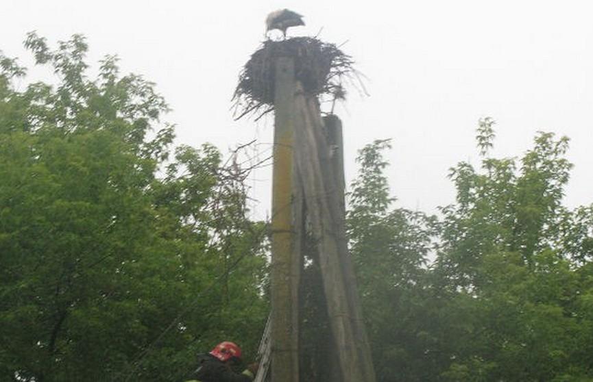 В Рогачёве спасатели вернули в гнездо трёх снесённых ветром аистят
