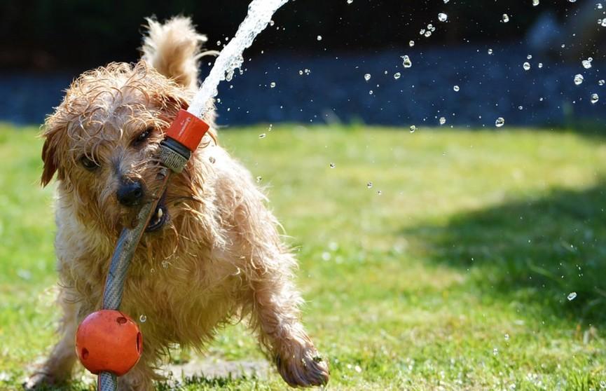 Собака изобрела смешной способ пить воду. Посмотрите, и как она до этого додумалась! (ВИДЕО)
