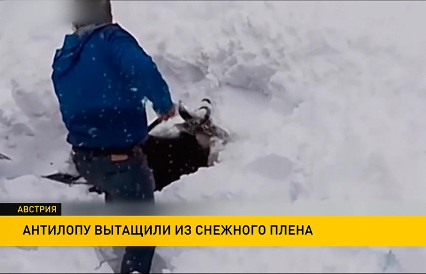 Антилопу буквально вытащили из снежного плена  в Австрии