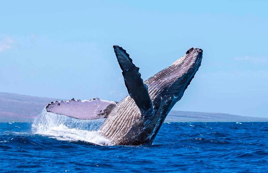 Горбатый кит выпрыгнул из воды на глазах у рыбаков