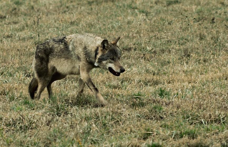 Диких животных на границе будут вакцинировать на границе с Польшей