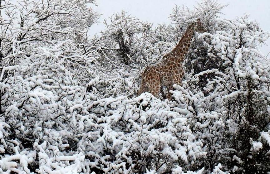 В ЮАР неожиданно выпал снег. Теперь слоны и жирафы разгуливают по сугробам