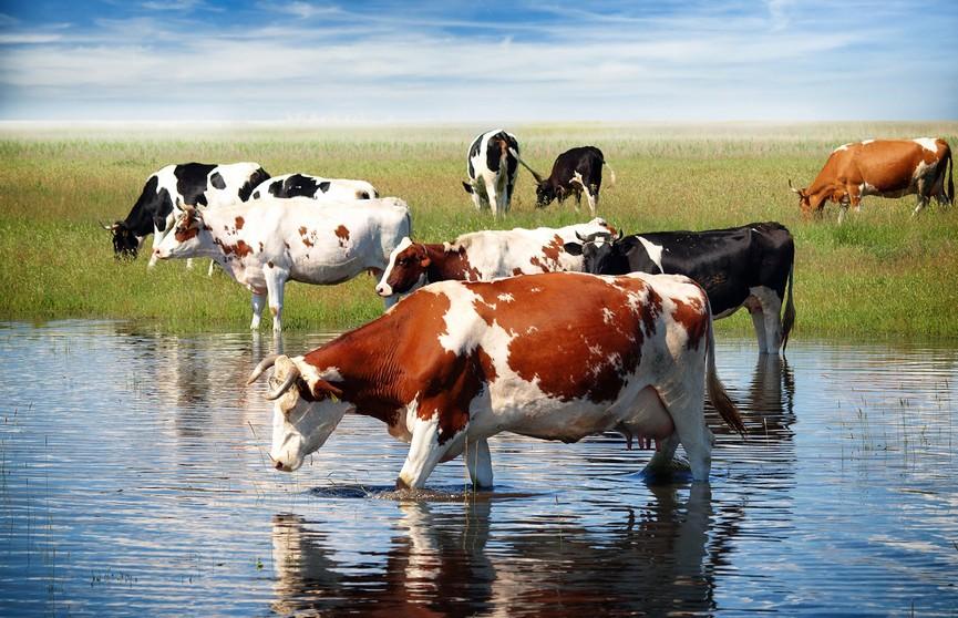 В США трех коров унесло в море ураганом