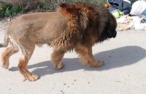 Лев или собака? В Испании прохожие увидели на улице животное и «обознались»