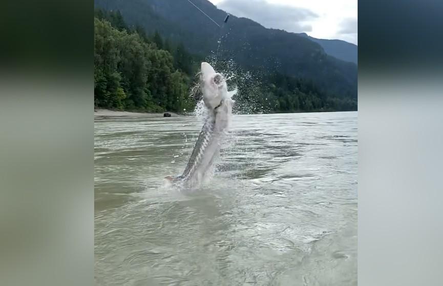 158-килограммовый осетр выпрыгнул из воды. Его успели снять на видео!