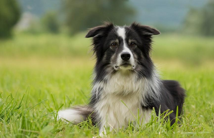 Британцы продали собаку в США за $25 тысяч