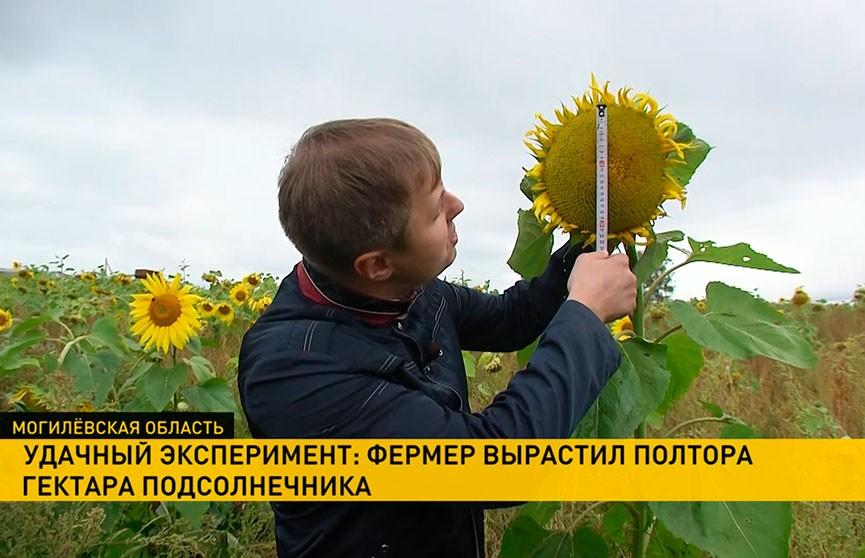 Богатый урожай: белорусский фермер вырастил полтора гектара подсолнечника