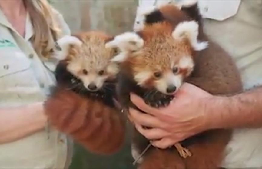 Детёнышей красной панды впервые показали широкой публике