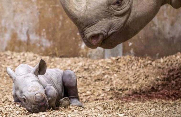 Детёныш исчезающего вида черного носорога родился в британском зоопарке (ФОТО)