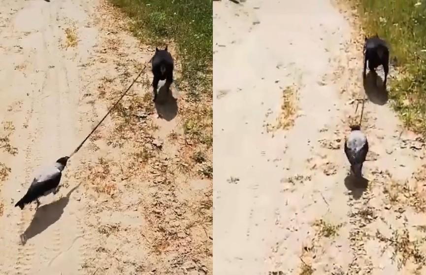 «Что тут вообще происходит?»: на видео попала ворона, выгуливающая собаку