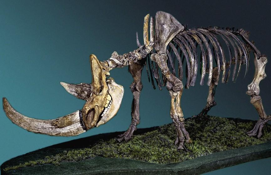Ученые назвали причину вымирания шерстистых носорогов