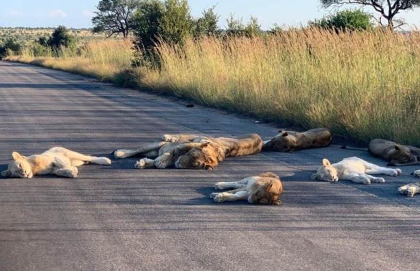 ФОТОФАКТ: львы отвыкли от туристов и заснули прямо на дороге