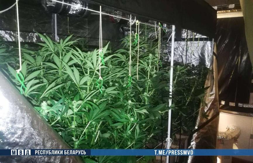 38-летний минчанин выращивал коноплю в съемной квартире: изъято более 90 растений