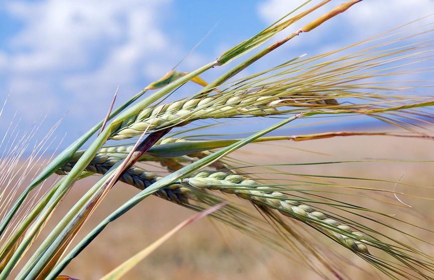 Горячий сезон: как аграрии приспосабливаются к жаре?