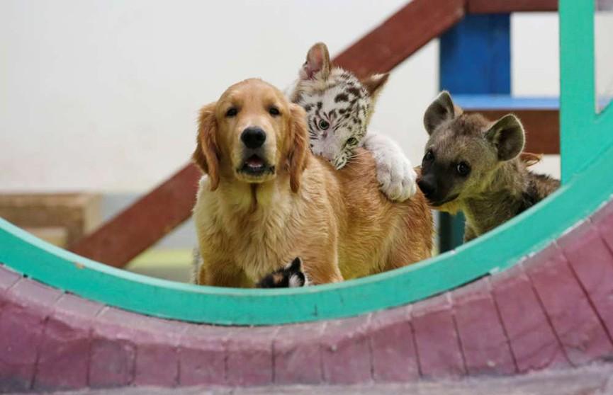 В китайском зоопарке самка золотистого ретривера вскармливает тигрёнка, львёнка и детёныша гиены