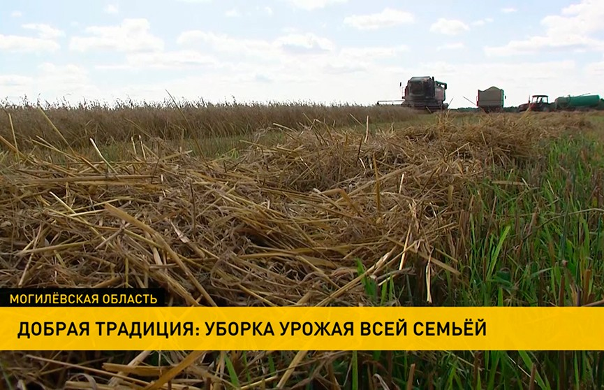 Работа в поле – семейная традиция. В Кричевском районе отец и двое сыновей каждый год выходят на жатву