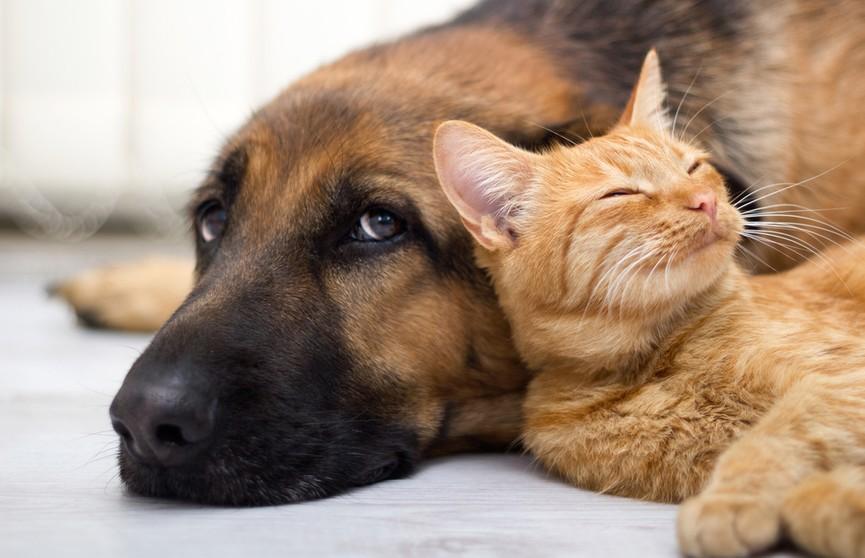 Кошка накрылась ухом собаки и уснула. Посмотрите, какая милота! (ВИДЕО)