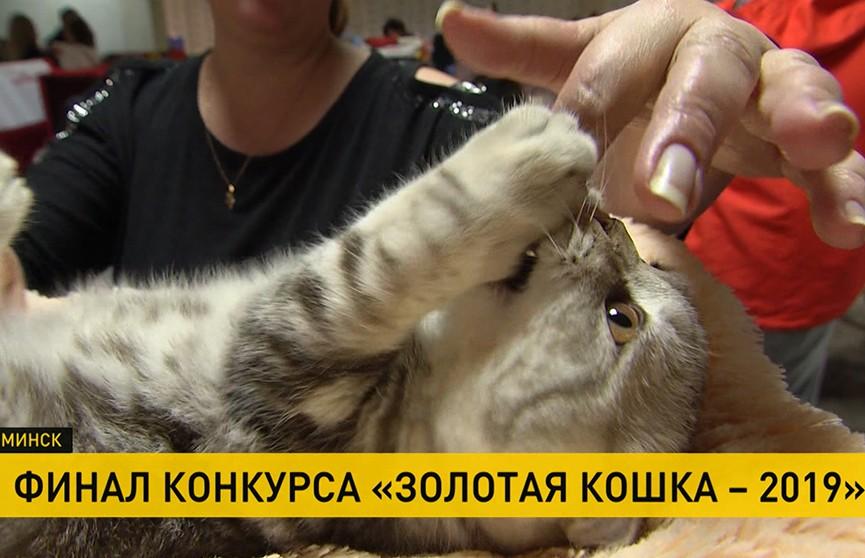 150 кошек соревнуются за звание «золотой»