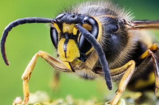 Пчела, оса, шмель или шершень: чей укус опаснее? 🐝