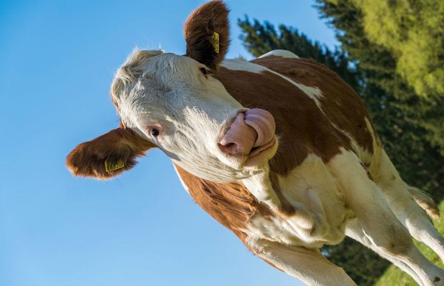Зашли на прямой эфир: в Великобритании сняли необычный прогноз погоды с коровами