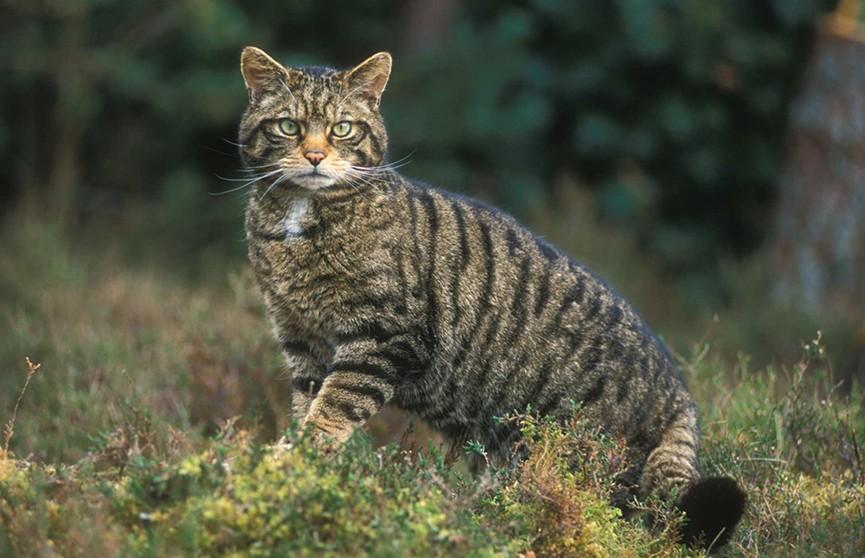 Диких кошек будут убивать в Австралии