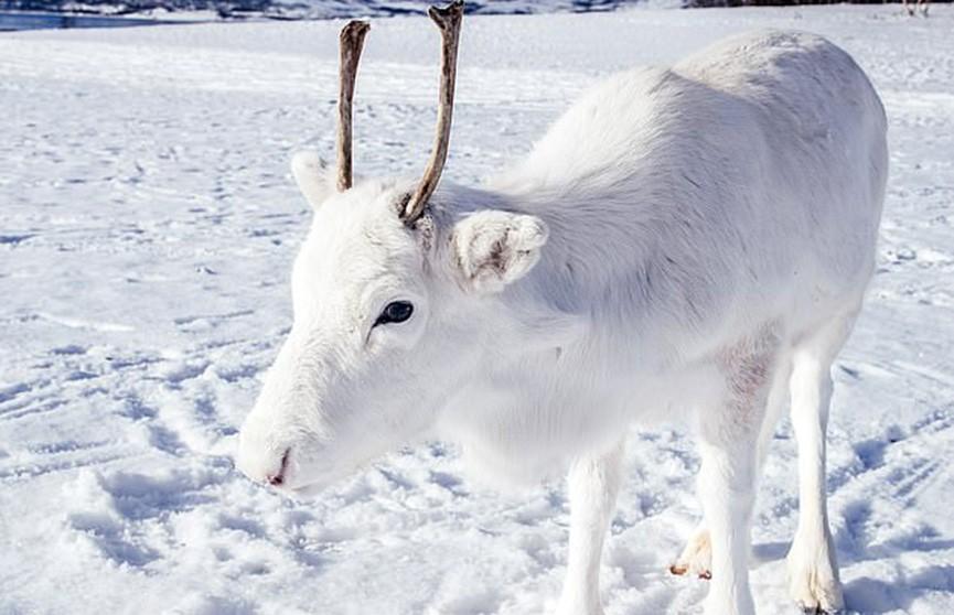 Редкий белый северный олень обнаружен в Норвегии