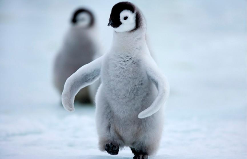 Документалисты BBC спасли пингвинов, нарушив главное правило