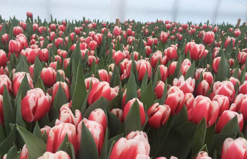 В Нидерландах садоводы уничтожают горы цветов