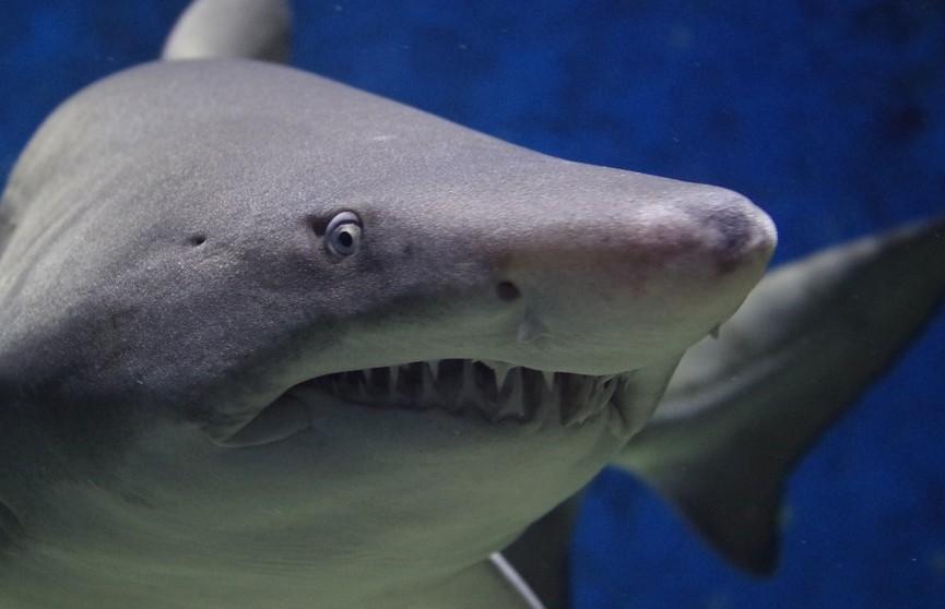 Австралийские ученые настаивают: акулы не «нападают» на людей, а просто «кусают» их