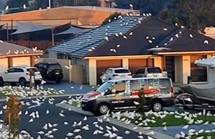 Тысячи попугаев затерроризировали жителей города и попали на видео