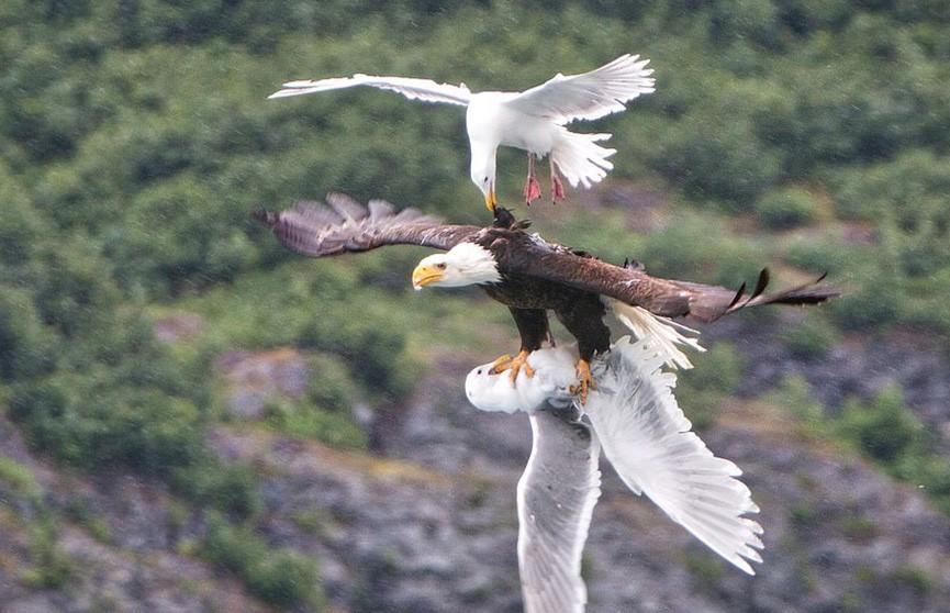 Чайки напали на орлана, который схватил их товарища