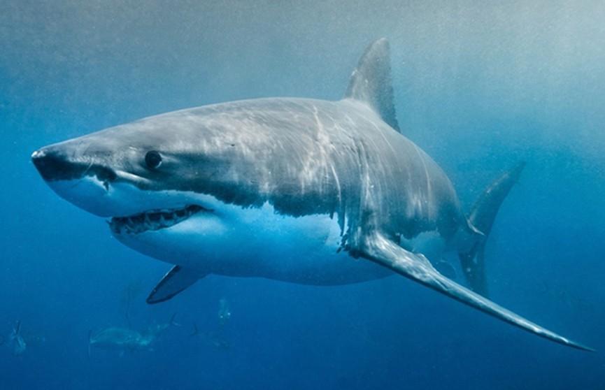 Охота от первого лица: белая акула преследует тюленя в густых водорослях (Видео)