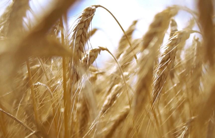 К 1,5 млн тонн собранного зерна приближаются белорусские аграрии
