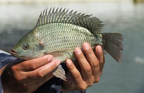 Мужчина случайно проглотил живую рыбу и умер на глазах у сына