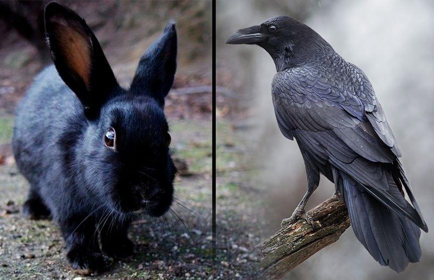 Новая оптическая иллюзия: кролик или ворон (ВИДЕО)
