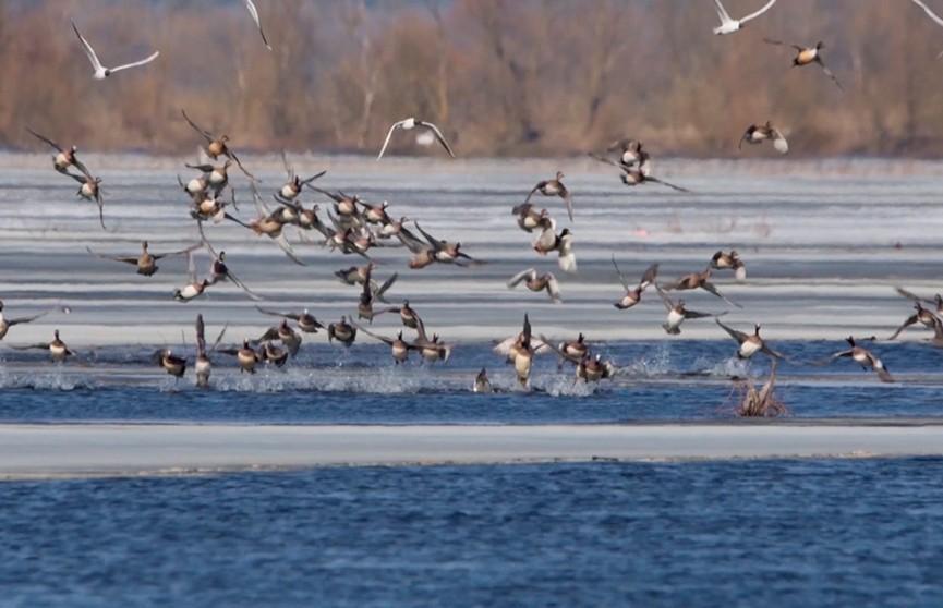 Первые перелётные птицы вернулись в Беларусь