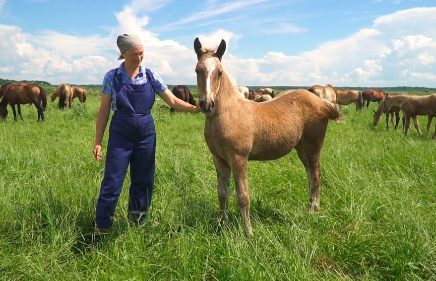 Где и как разводят белорусскую породу лошадей? Посмотрите, это удивительно!