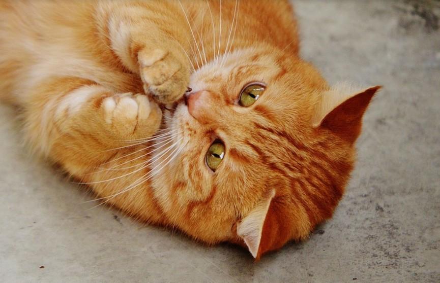 Кот попал в ловушку игрушки-трансформера и сильно удивился. Посмотрите, как он нашел выход! (ВИДЕО)