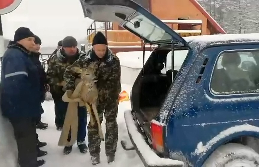Братья наши не всегда меньшие, или Как в Жабинковском районе из ледяной ловушки спасали косулю, а в Мядельском – лося