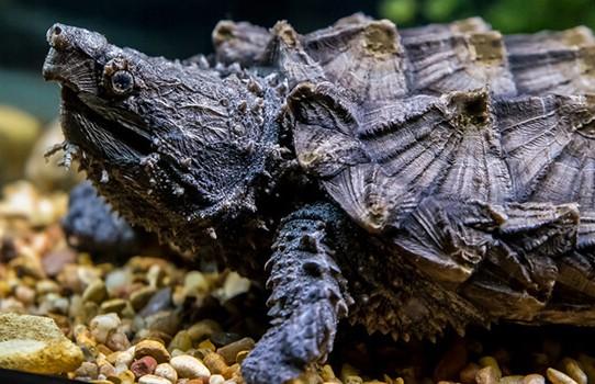 В США по улице разгуливала большая черепаха