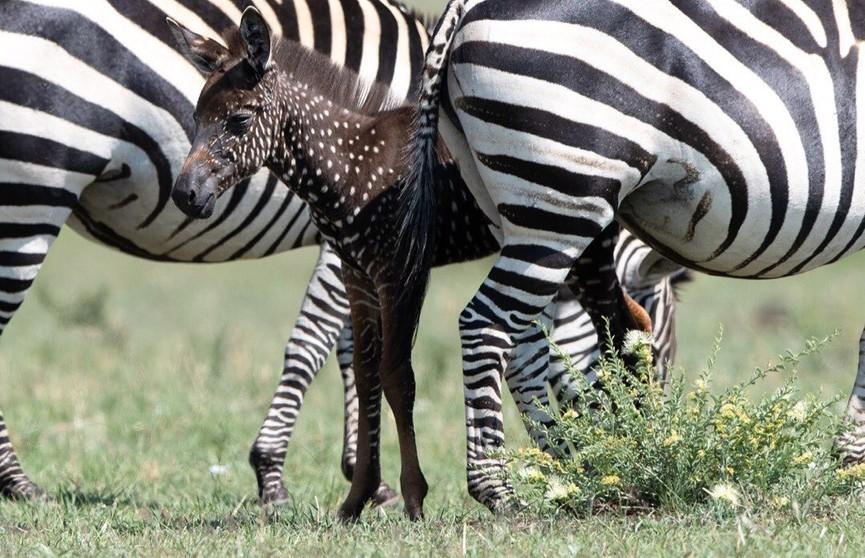 В Кении родилась зебра с необычным окрасом
