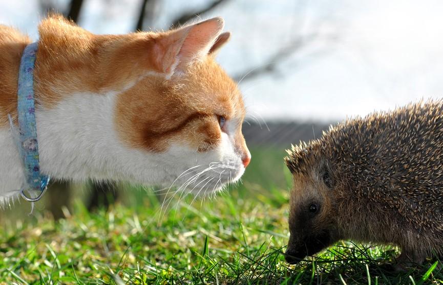 Кот хотел атаковать ежика, но отказался от этой идеи. И вот почему! (ВИДЕО)